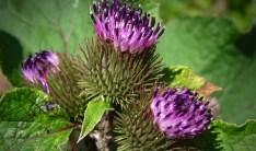 čičak svakodnevna ljekovita biljka