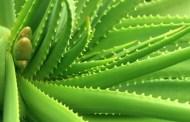 Aloe vera ljekovita svojstva i upotreba