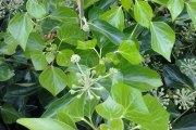Bršljan zelena penjačica iznimnih ljekovitih svojstava