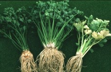 Ljekovita svojstva celera, upotreba celera
