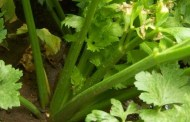 Celer svakodnevna iznimno ljekovita biljka