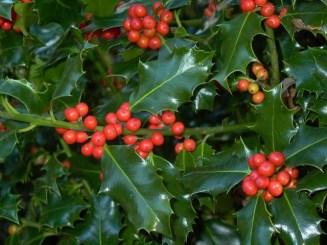 Ljekovitost i svojstva božikovine1