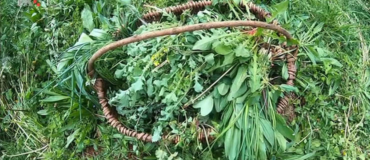 Divlje samoniklo bilje za kuhanje ili divlje zelje Dalmacije i Hercegovine