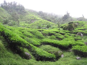 hiking-in-the-cameron-highlands-Tea2