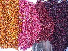 Colored_quinoa_Genebank_INIA_Juliaca