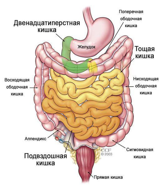 Отделы тонкого кишечника