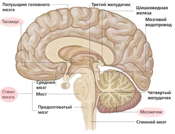 Расположение ствола мозга, мозжечка и таламуса