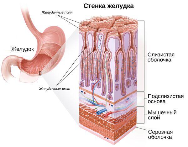 Строение желудочной стенки