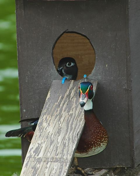 Male Wood Duck protecting the nesting box.