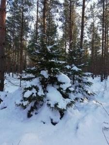 Un pino nevado en el bosque de Sjappevik