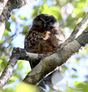 Owl we spotted on Ulva Island