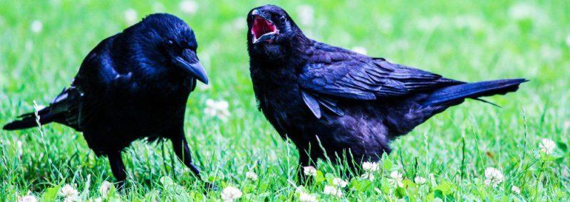 Crow-Raven-Standing-Grass-Searching-Food-Frankfurt-crop