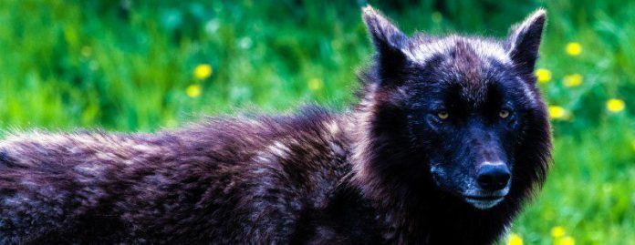 north-american-wolf-animal-canine-forest-outside-wild-feral-looking-werewolf-halloween-game