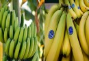 Fungal Disease could Wipe Out Bananas