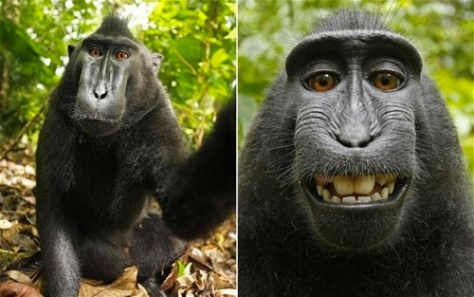 monkey self portrait from this Sulawesi crested black macaque (the black monkey pictured), who stole a camera and took pictures of himself. It's a monkey selfie!