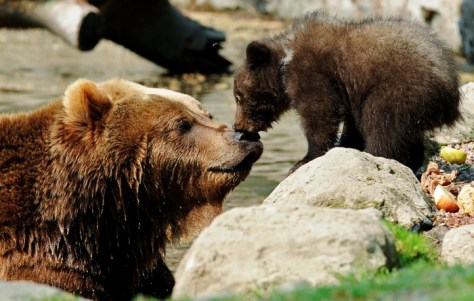 A Kamchatka Brown Bear and one of her two three-month-old cubs share a kiss in Hamburg, Germany. (Reuters - Fabian Bimmer). Best Animal Photos of 2011