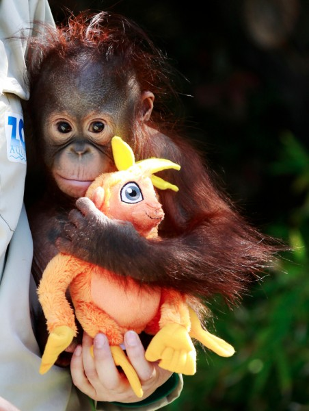 A zoo keeper holds a 9-month-old baby orangutan orphan named Boo as he plays with a toy. (Reuters / Andrea Comas) Best Animal Photos