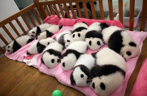 Chengdu - 12 giant panda cubs lie in a crib at the Chengdu Research Base in China. (Reuters China Daily). Best Animal Photos of 2011