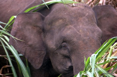 Close-up of an Asian Elephant in Malaysian Borneo in Sabah - Sungai Kinabatgangan - Visit50.com