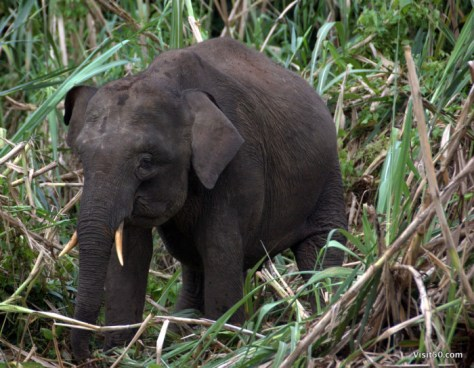 Did you know: Asian elephants are known to be right or left tusked.