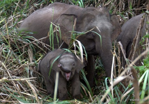 Baby Asian Elephants at Sungai Kinabatgangan in Malaysian Borneo