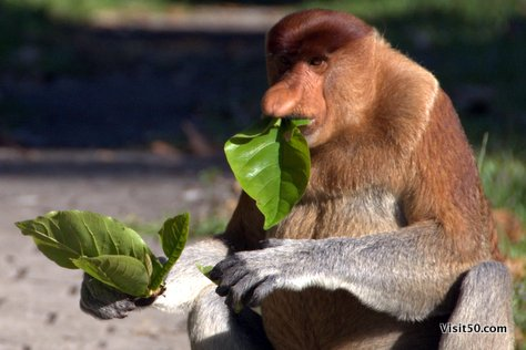 Proboscis Monkey eating leaves, in Borneo, Sarawak, Malaysia