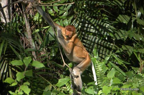 Female proboscis monkeys have much smaller noses - Borneo, Sarawak, Malaysia