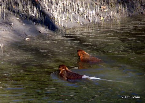 Proboscis monkeys are proficient swimmers, using the webbing between their fingers to move quietly (so as not to attract predators, like crocodiles) using a form of dog paddle, and seem to like the mangrove swamps.