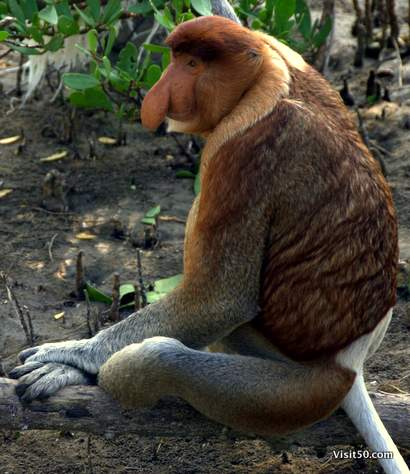 Rare Proboscis Monkey - relaxing on a low branch  | Bako National Park in Borneo, Malaysia