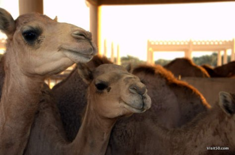 cute camels in Bahrain