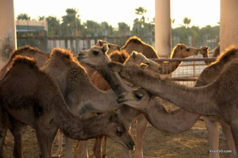 so many camels in Bahrain! Royal Camel Farm