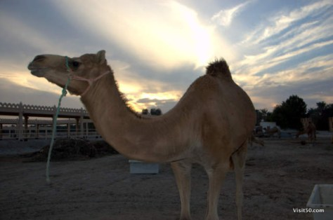 Camels in Bahrain at sunset