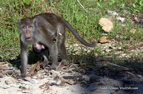 Carrying her baby monkey in Borneo - Baby long-tailed macaques in Borneo, Bako, Malaysia