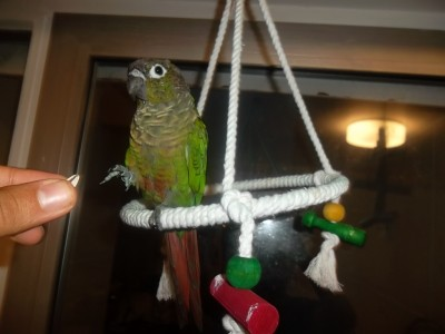 Dressage: apprendre des tours à son oiseau
