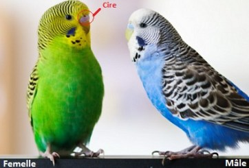 budgerigars male and female