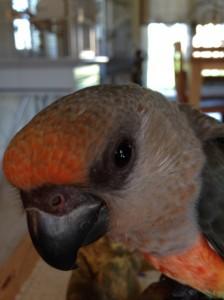 Perroquet Rufiventris