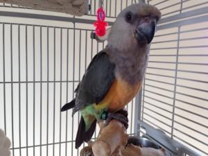 Perroquet Rufiventris2