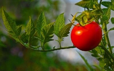 Plants tomates aliments toxiques