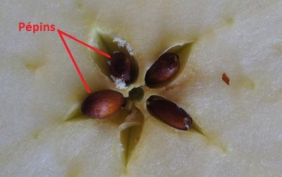 pépins pomme-1 aliments toxiques