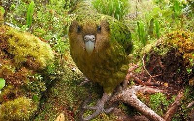 perroquet kakapo-espèces