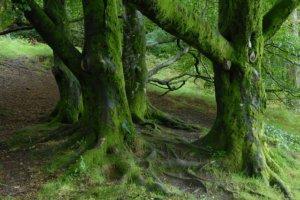 irischer Wald