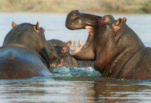 die Nilpferde erfreuen sich am Wasser