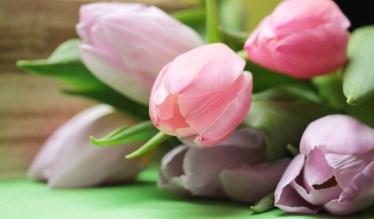 ein Strauß rot-weißer Tulpen zum Muttertag