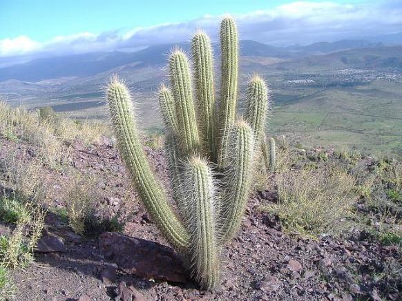 Ein Kaktus in der Landschaft von Chile