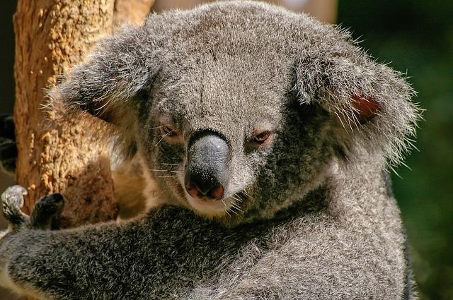 Ein Koala aus Australien.