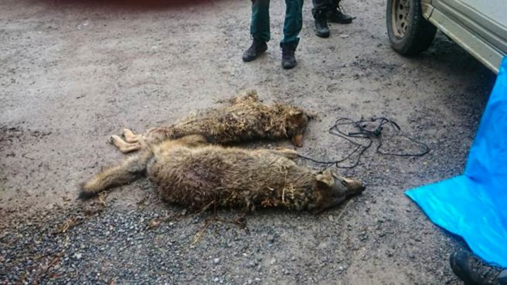 Wolf hunting Spain