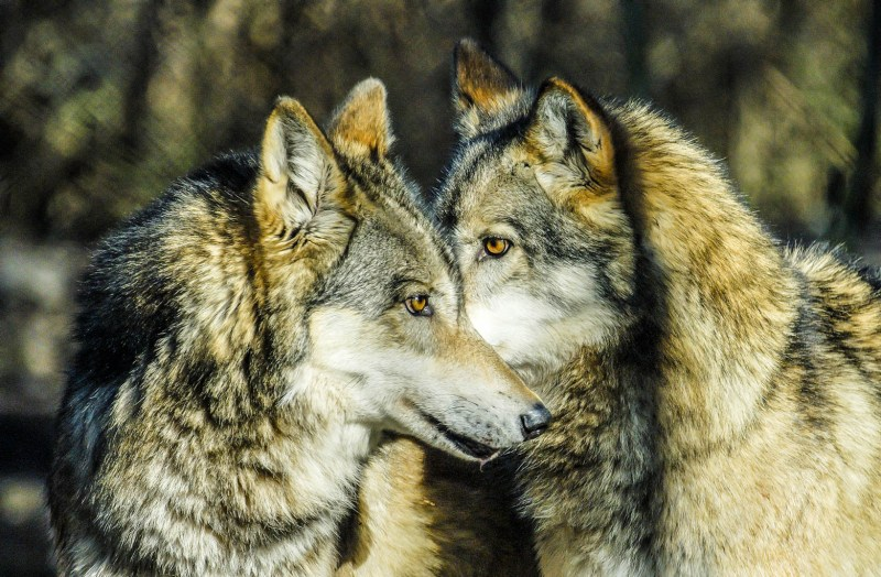 Wolf © All rights reserved