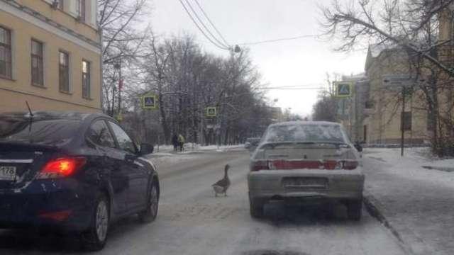 В Пушкине из-за гусей на дороге образовалась пробка