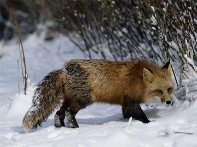 В Кирове дикая лиса напала на ребенка