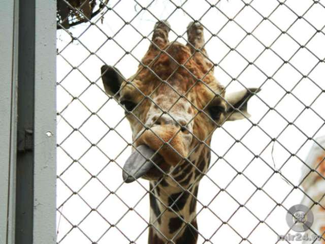 В Петербурге скончался рожденный при Брежневе жираф